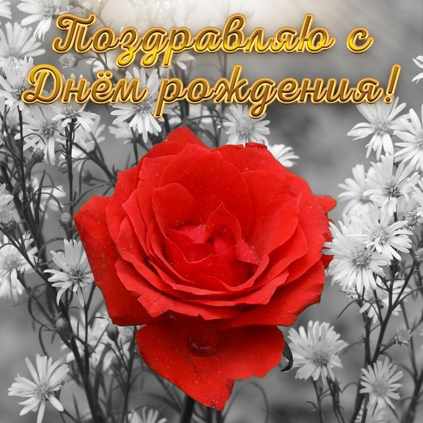 Картинка с красной розой на День рождения